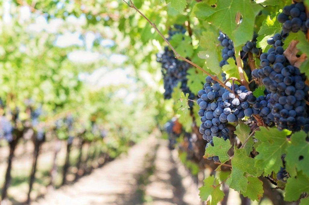 purple grapes, vineyard, napa valley
